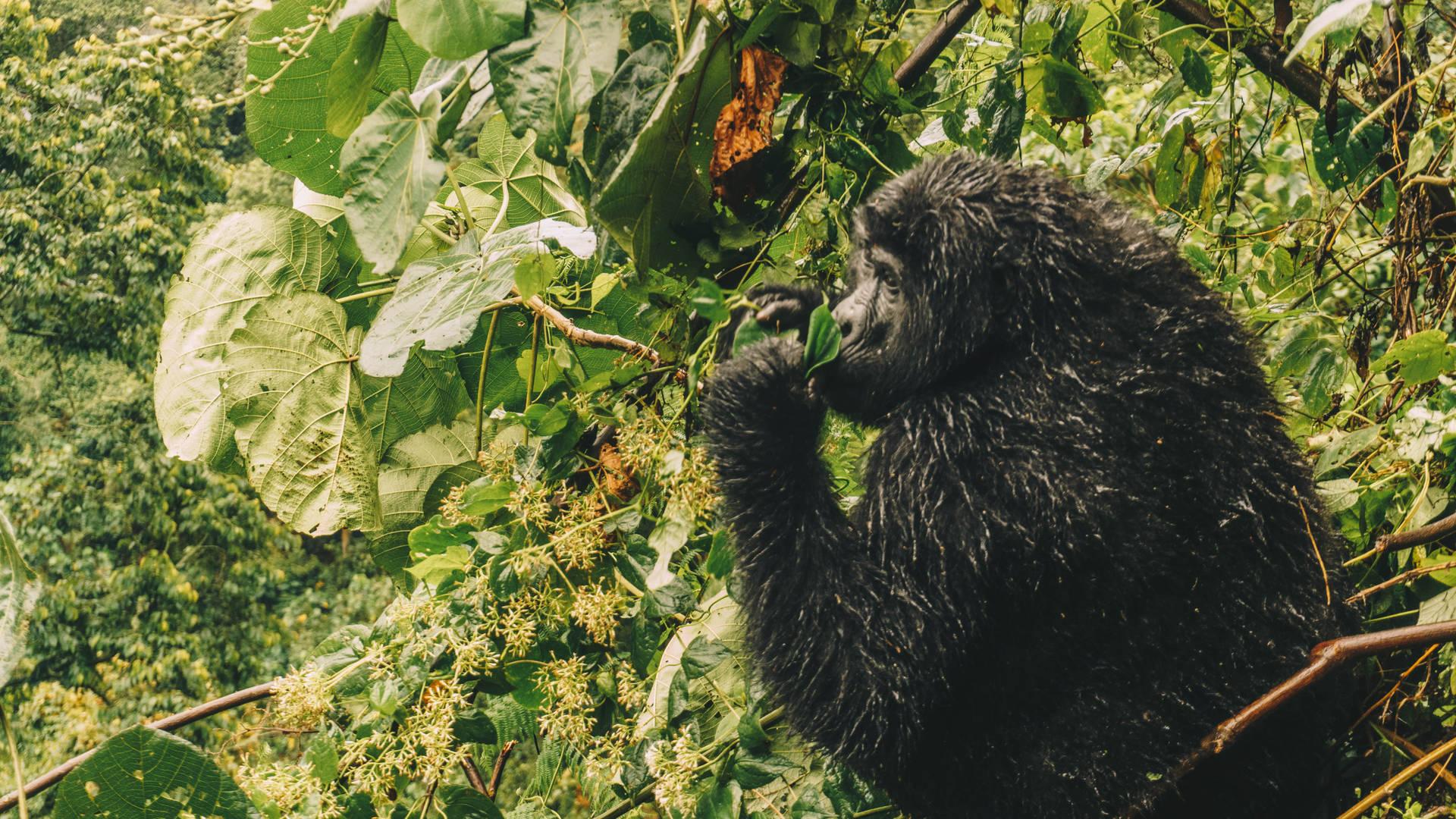 Bwindi jungle gorilla regenwoud