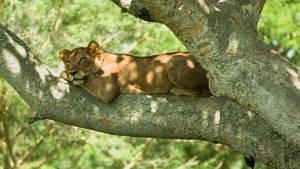 Boomklimmende Leeuw Boom Safari